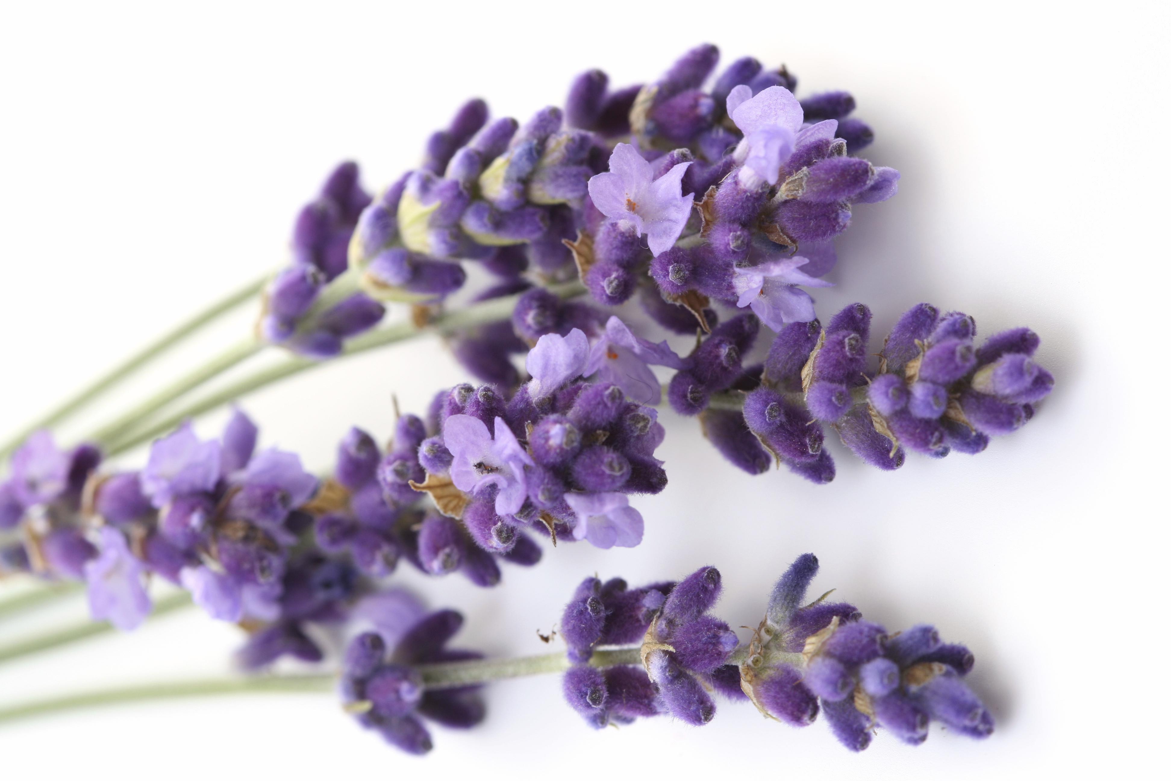 5 plantas medicinales que puedes tener en tu balc n for Fotos de lavanda